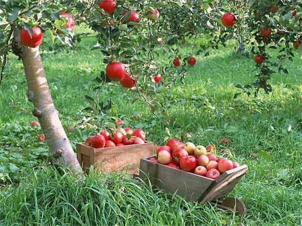 «Голландский» и спуровый типы садов