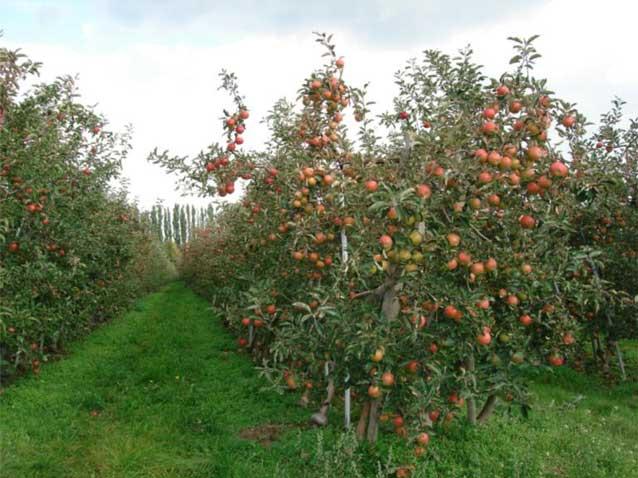 Полукарликовый и карликовый плодовый сад