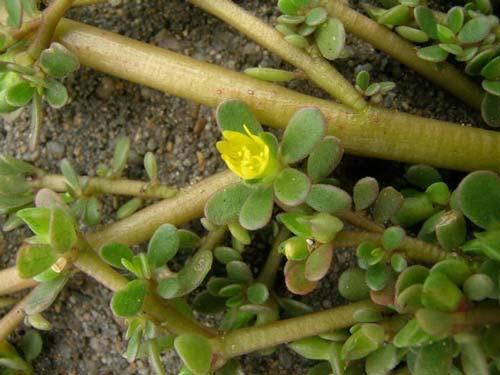 Это загадочное растение-сорняк портулак