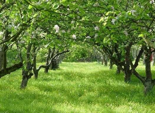 Плодовый сад на сильнорослых подвоях