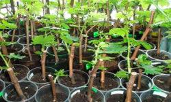 Саженцы винограда из черенков (чубуков)