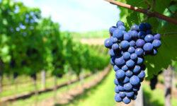 Работы на винограднике в августе