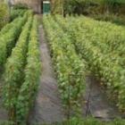 Виноград саженцами