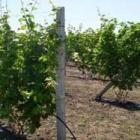 Ухаживать за молодым виноградом