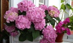 Гортензия комнатная: выращивание и уход в домашних условиях