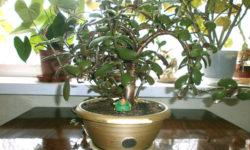 Денежное дерево (толстянка): как ухаживать в домашних условиях.