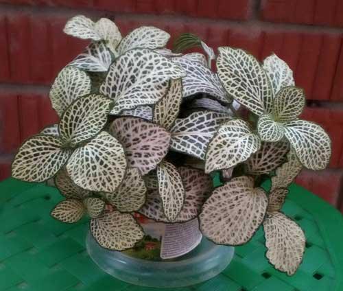 Комнатное растение фиттония. Фото.