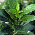 Лавр благородный: выращивание и уход
