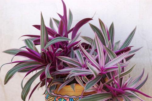 Рео. Комнатное растение.