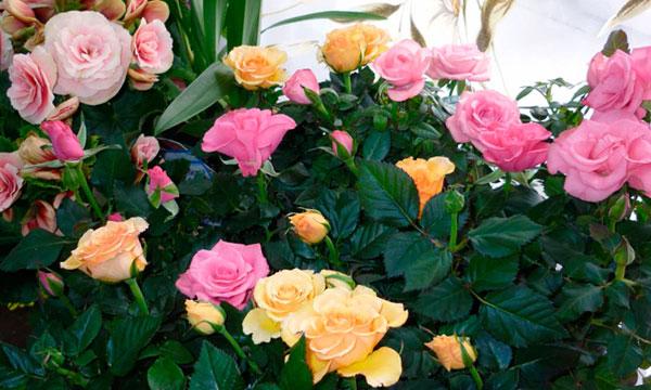 Миниатюрная роза и уход за ней