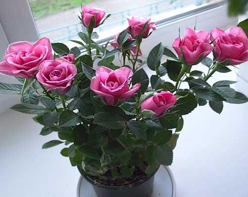 Как ухаживать за миниатюрной розой