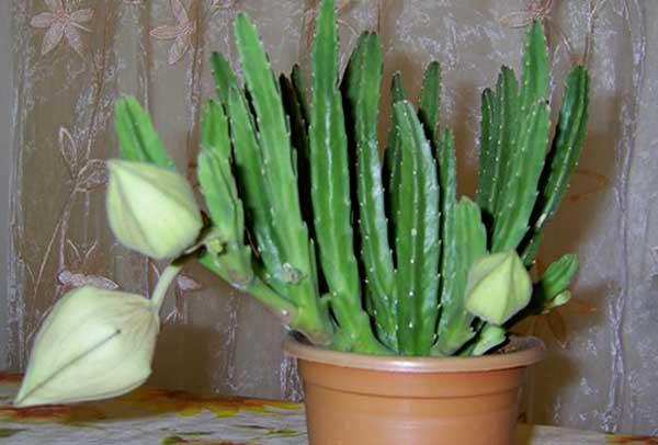 Бутоны цветов стапелии