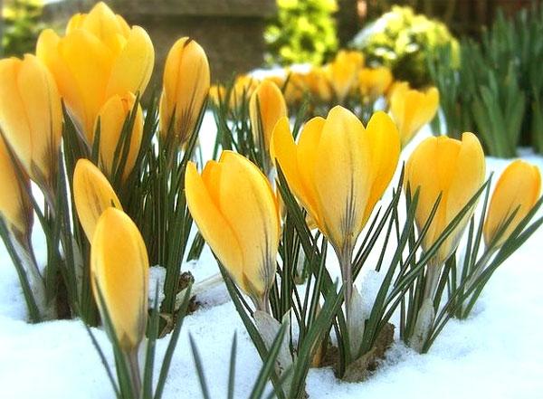 Крокус - первоцветы