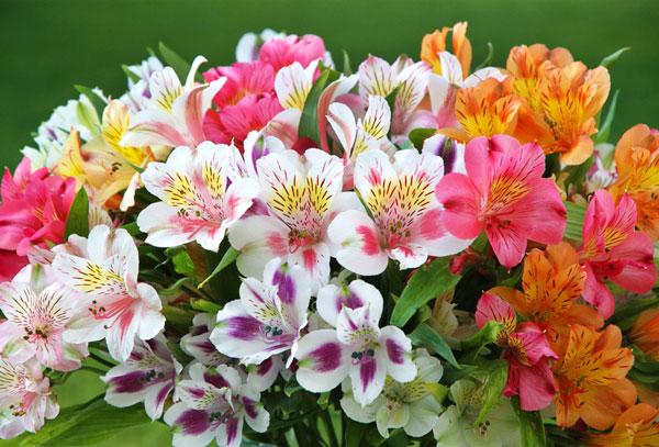 Альстромерия - прекрасные цветы