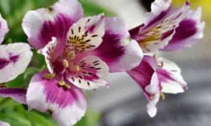 Посадка, выращивание и уход за альстромерией