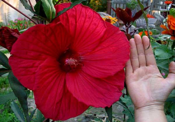 Огромный цветок садового гибискуса
