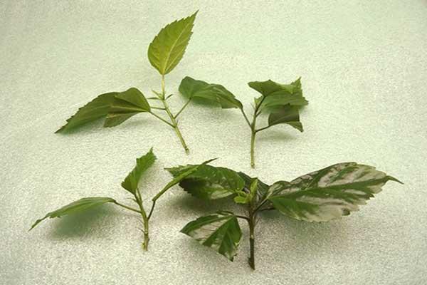 Как размножить гибискус садовый черенками