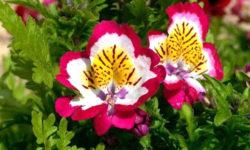 Схизантус — выращивание в саду и в доме