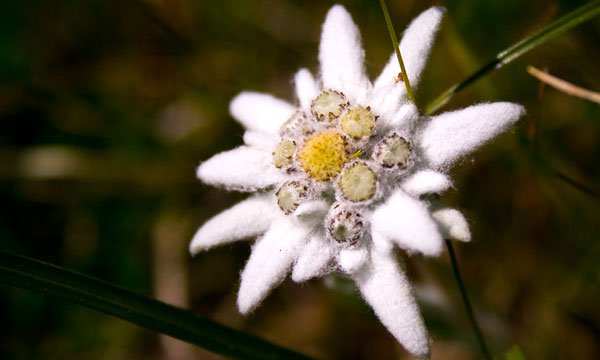Выращивание эдельвейсов