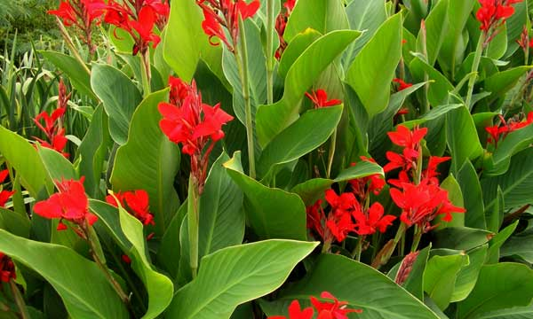 Цветок канна в открытом грунте