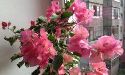Бугенвиллия — уход в домашних условиях