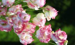 Эустома — выращивание, посадка, уход