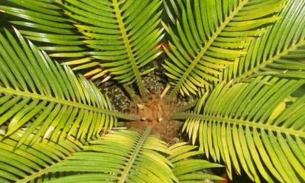 Желтеют листья цикаса