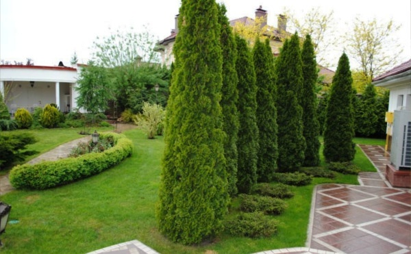 Как посадить и ухаживать за туей в открытом грунте