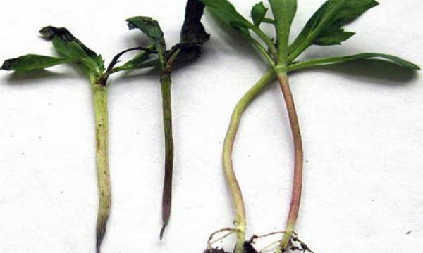Черная ножка на растениях — возбудители, лечение, профилактика
