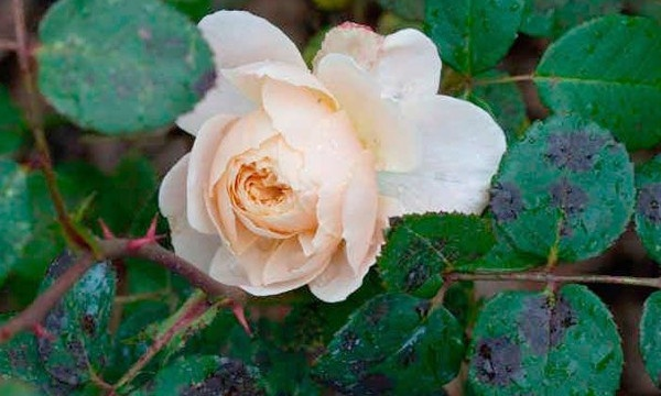 Как лечить черную пятнистость на розах.
