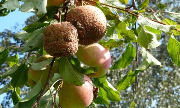 Монилиоз яблони: лечение и профилактика